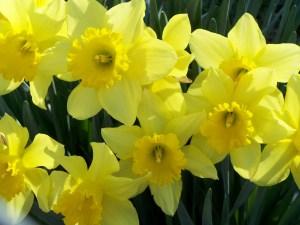 daffodil[1]